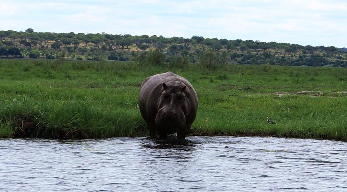 ιπποπόταμος στο Εθνικό Πάρκο Chobe