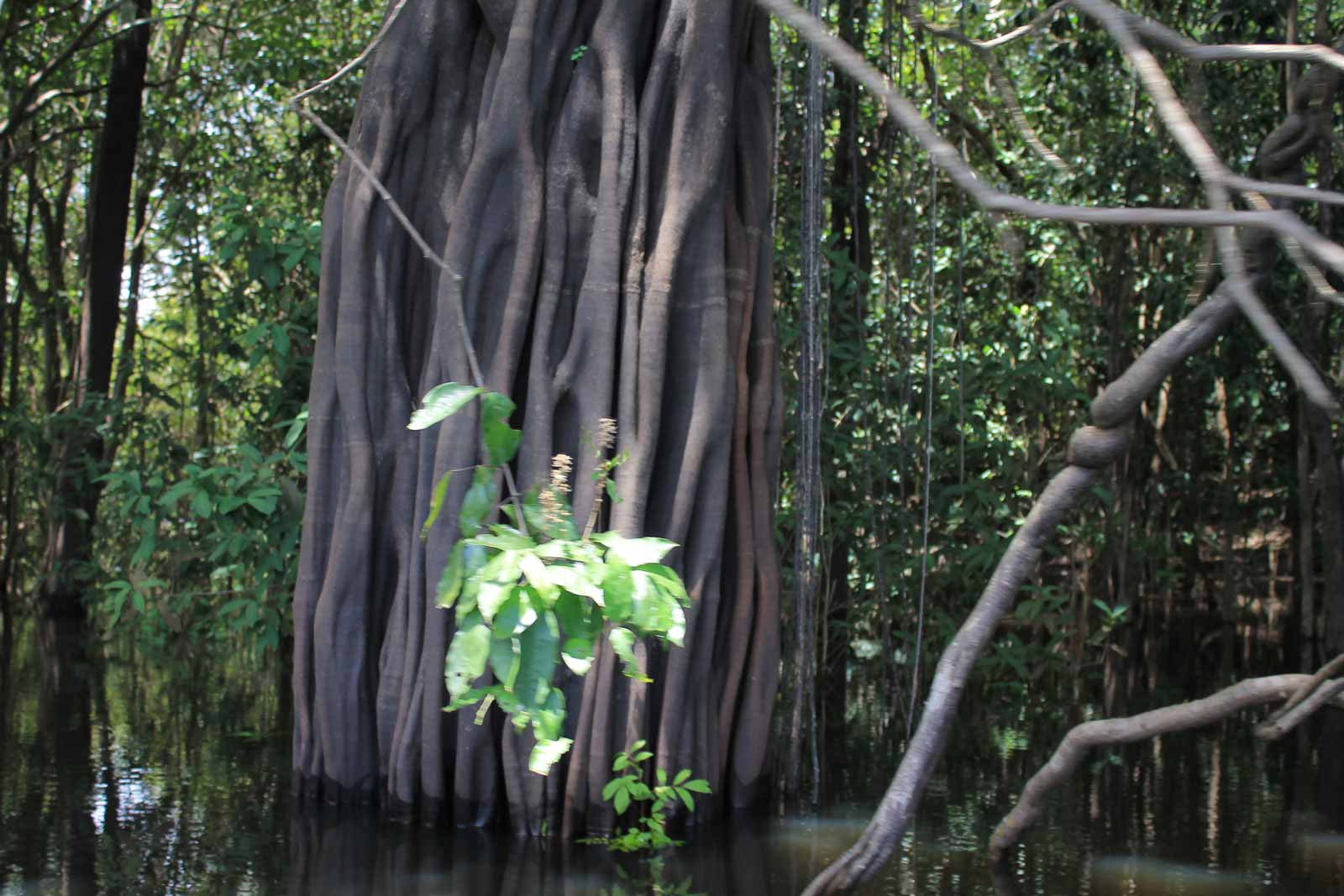 huge tree at the amazon forest