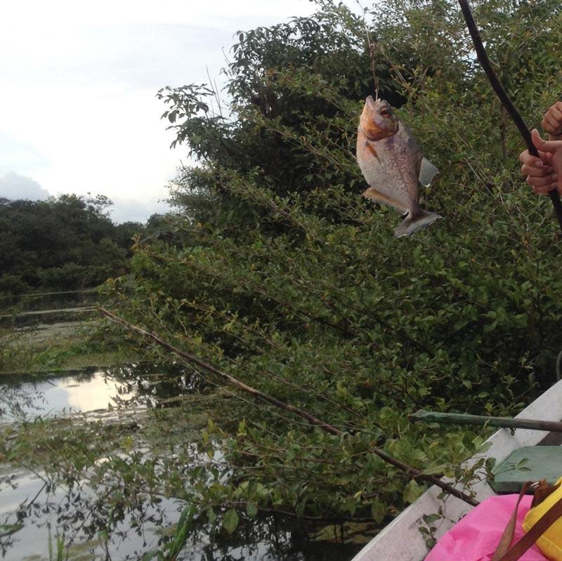 piranhas- αμαζόνιος